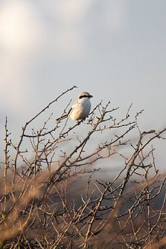 Klapekster in het duin | Vogels van Zuid-Kennemerland, Nederland