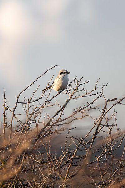 Klapekster in het duin | Vogels van Zuid-Kennemerland, Nederland van Dylan gaat naar buiten