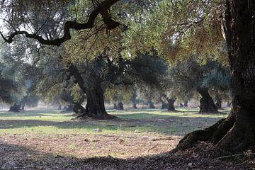 olijfbomen van Bert Weber