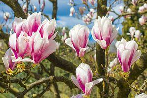Magnolia boom in volle bloei met bloemen