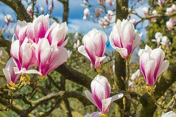 Magnolia boom in volle bloei met bloemen von Heleen van de Ven