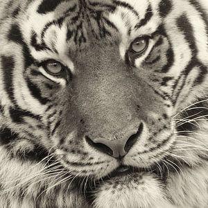 Close up van tijgerkop van
