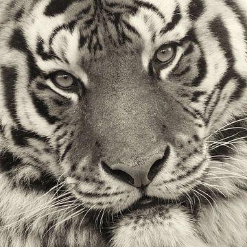 Close up van tijgerkop von Ellen van Schravendijk