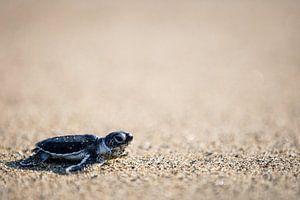 Close-up van schildpad jong - Oost-Java, Indonesië
