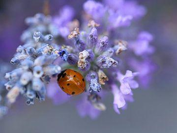 Marienkäfer im Lavendel von SallysMacroworld