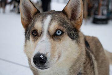 Husky d'Alaska sur Lucas Planting