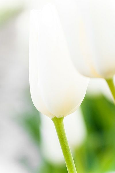 Witte tulpen tegen groene achtergond van Fotografiecor .nl