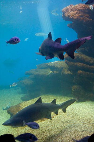 Haaien van Guido Akster