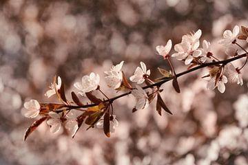 Frühlingsblüte von Saskia Schotanus