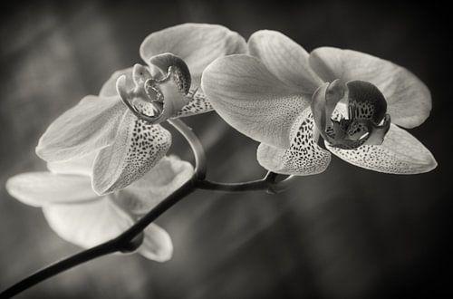 Orchidee van