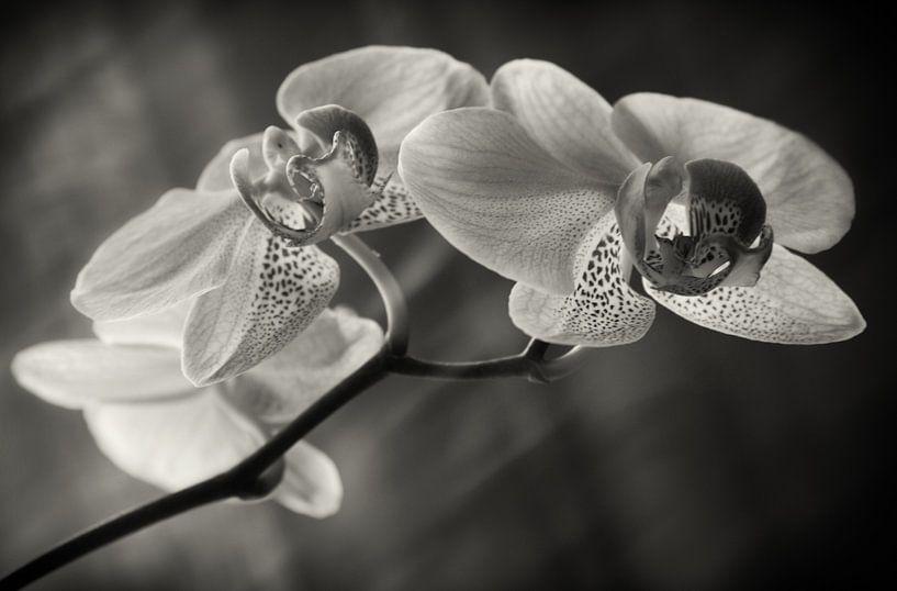 Orchidee van Silke R.