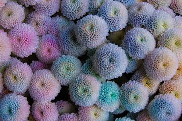 Korallen-Dahlien von Niek Traas