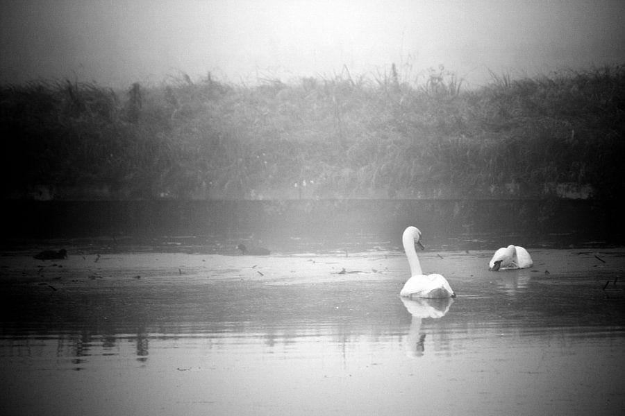 Swans van Koen Smit