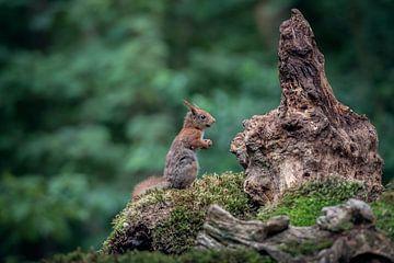 Squirrel sur Fronika Westenbroek