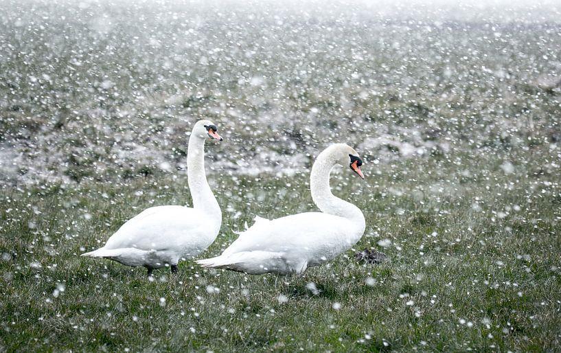 Zwanen in een winterse bui van Jo Pixel