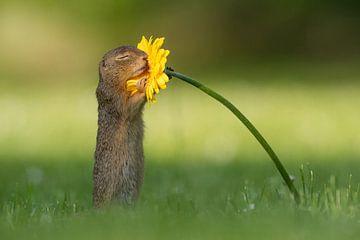 Eekhoorn ruikt aan bloem van Dick van Duijn