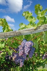 Zuid-Tiroolse druiven van Peter Eckert