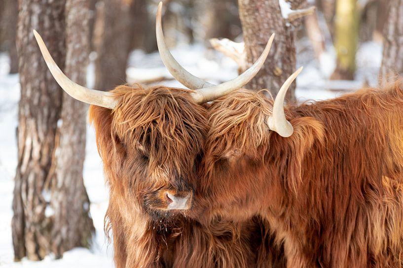 Schotse Hooglanders in love van Dennisart Fotografie