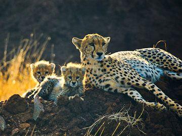Gepard mit 2 Welpen im Gegenlicht von Machiel Zwarts