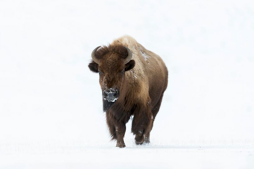 Bison ( Bison bison ) im Winter, läuft direkt auf den Fotografen zu, Blickkontakt, wildlife, Yellows von wunderbare Erde