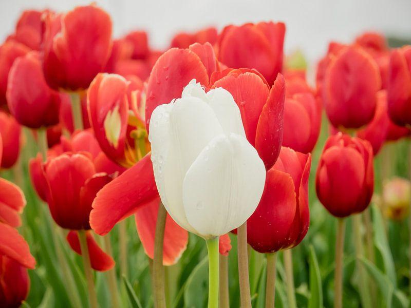 Weiße Tulpe vorne von Martijn Tilroe