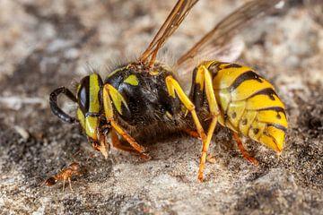 Guêpe et petite fourmi mortes sur Joost Adriaanse