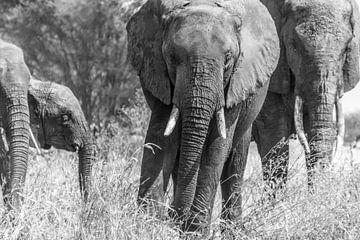 Annäherung an Elefanten in Tansania von Diane Bonnes