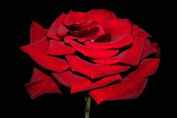 Schöne rote Rose von Ioana Hraball