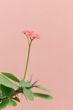 Rosa Blume gegen korallenrosa Wand | Botanisches Bild von Mirjam Broekhof