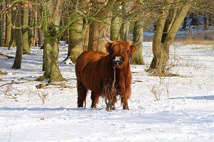 Schotse Hooglander in de sneeuw van Liselotte Helleman
