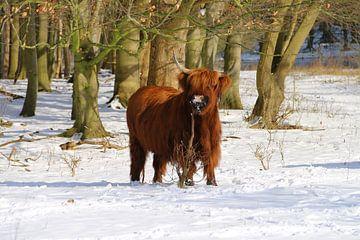 Schottischer Highlander im Schnee von Liselotte Helleman