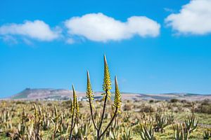 De plant Aloe Vera wordt in de buitenlucht gekweekt op Lanzarote