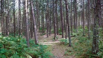 Kiefernwald mit Farnen von R Smallenbroek