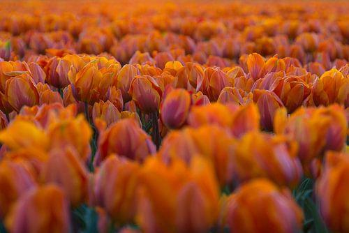 Nothing but Tulips van