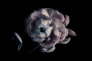 Anemoon,verval. Anemone, decay.Anemone, Verfall.Anemone, la pourriture van