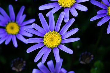 Blaue Marguerite von Dennis Schaefer