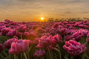 Tulpenveld tijdens zonsondergang. van Erik de Rijk
