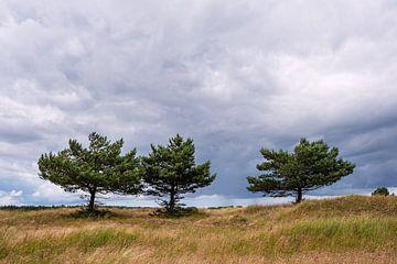 Bäume in den Dünen auf dem Fischland-Darß von Rico Ködder