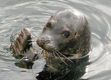 Gewone zeehond van