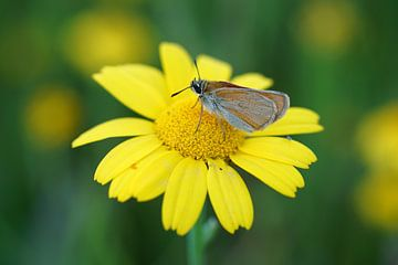Schmetterling auf gelber Blume von Patrick Ven