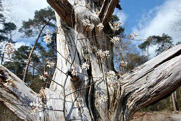 Bloesem in oude boom van M de Vos