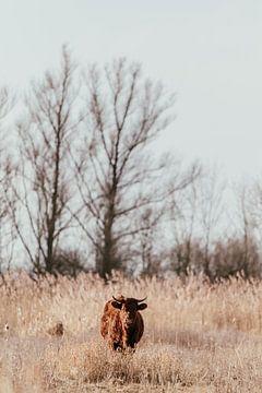 Rode Geus. Wilde koe. Fine art fotografie. Wanddecoratie. Aardetinten van Quinten van Ooijen