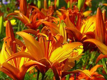 Orange and Yellow Iris van