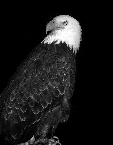 Zeearend, bald eagle van Rian Verweijmeren