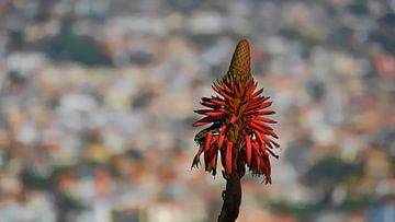 Hagedis in agavebloesem op Madeira van Timon Schneider