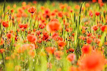 ein Feld voller Mohnblumen von Berend-Jan Bel