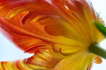 Tulipe de perroquet sur Ad Jekel