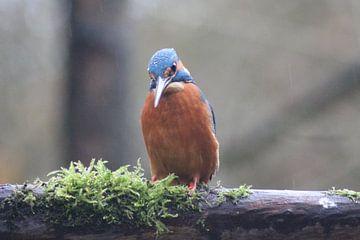 Ijsvogel van Henrico Van der Dussen