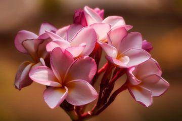 Roze plumeria van Monique Simons