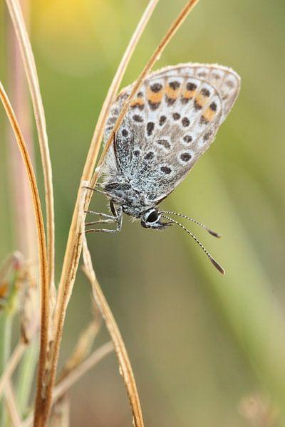Icarus butterfly sur Martzen Fotografie